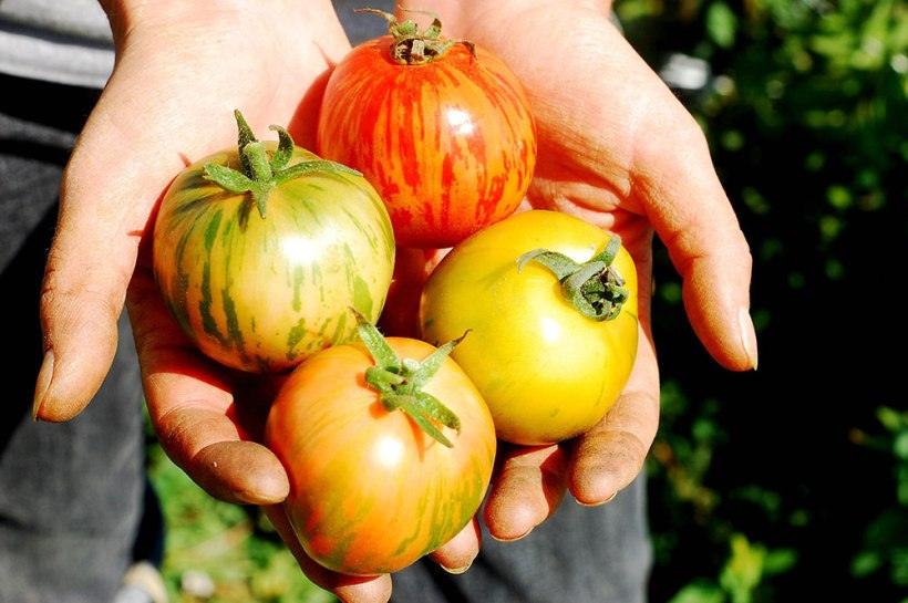 2011-freshly-harvested-striped-tomatoes-in-hands